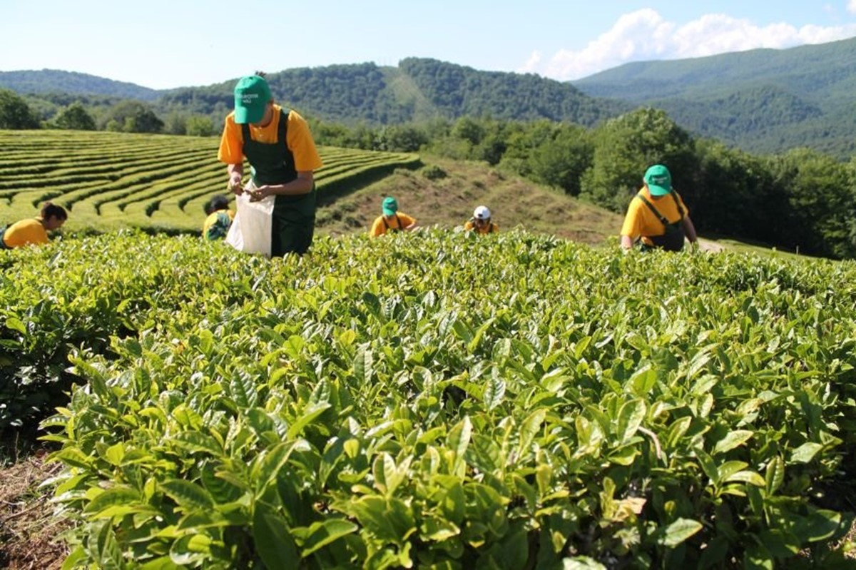 مزرعه و چای خانه ی داگومیس